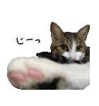 キジ白にゃんこ【リアル】(個別スタンプ:29)