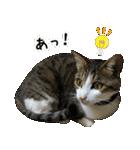 キジ白にゃんこ【リアル】(個別スタンプ:32)