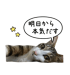キジ白にゃんこ【リアル】(個別スタンプ:34)