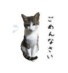 キジ白にゃんこ【リアル】(個別スタンプ:36)