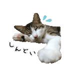 キジ白にゃんこ【リアル】(個別スタンプ:38)