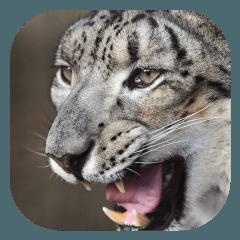 超リアル猫科肉食系(雪豹編)