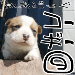 [LINEスタンプ] みえどっぐスタンプ コーギーカーディ編 9