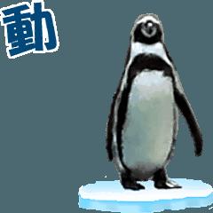 動く!ペンギン