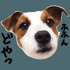 てんてん(ジャックラッセルテリア)