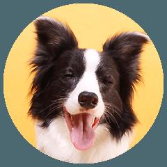 [LINEスタンプ] ボーダーコリー/おでか犬 (1)