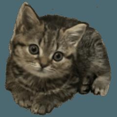 ミヌエットのショコラの子猫写真スタンプ1