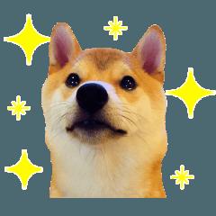 柴犬こてつ君 stamp vol.1