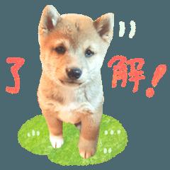 豆柴こつぶくんの基本的スタンプ★子犬ver