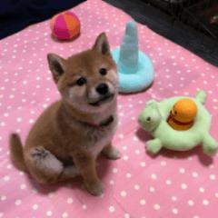 柴犬 つむぎ 2
