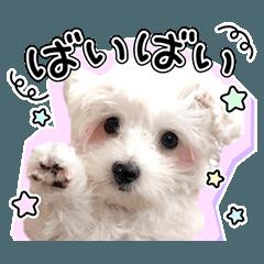 実写スタンプ♪白いふわふわ子犬のこりん