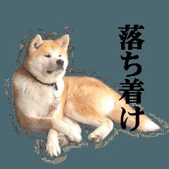 秋田犬3兄弟withニューファン