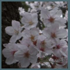 桜の写真に春に使えそうな言葉