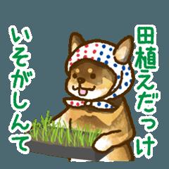 新潟弁を話す柴犬たち3(茶柴&黒柴)