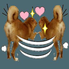 かわいい雑種犬「茶々」のご挨拶3
