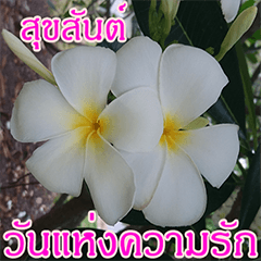 Plumeria of happiness