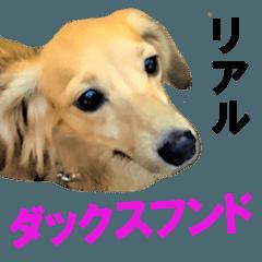 リアルダックスフンド☆プリン君の日常♪