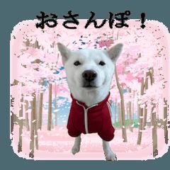 北海道犬桜花の愛情表現